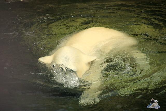 Eisbär Lili im Zoo am Meer 15.05.2016  3