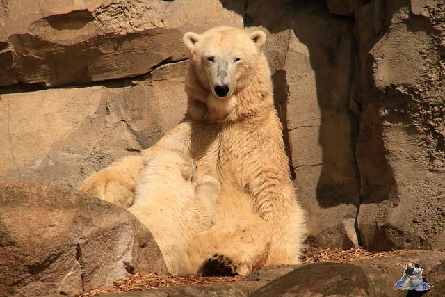 Eisbär Lili im Zoo am Meer 15.05.2016  83
