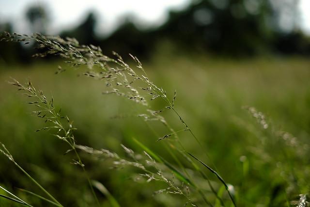 Summer grasses6