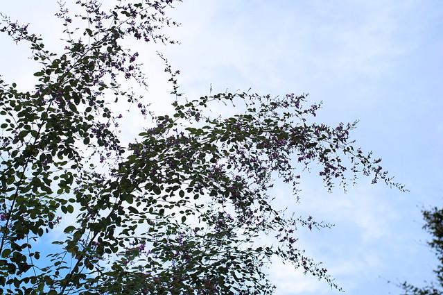 萩の花_2016-08_NO1