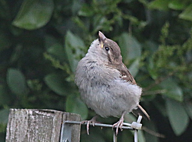 Young House Sparrow