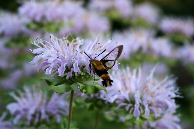 bee balm with a large yellow-and-black insect