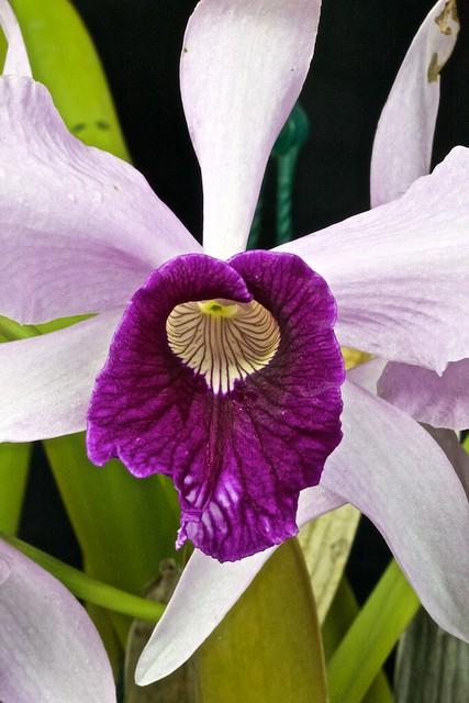 "Laelia purpurata var.(russelia ""graciana"" x roxo-violeta ""clito"") x sib 27465465642_d9fb30b815_z"