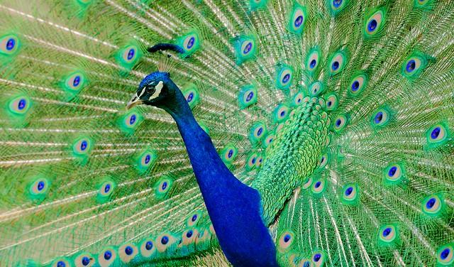 Peacock_31
