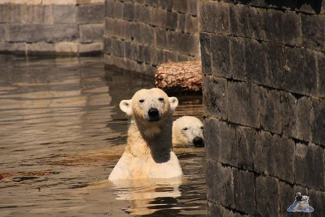 Eisbär Fiete im Zoo Rostock 04.06.2016   0133