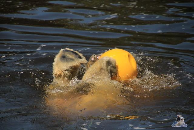 Eisbär Fiete im Zoo Rostock 04.06.2016   0131