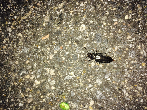 Beetle on the Move (June 11 2015)