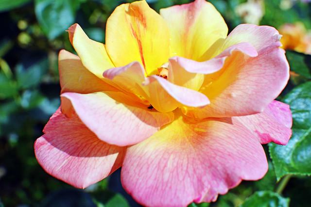 Rose Sutter's Gold (3)