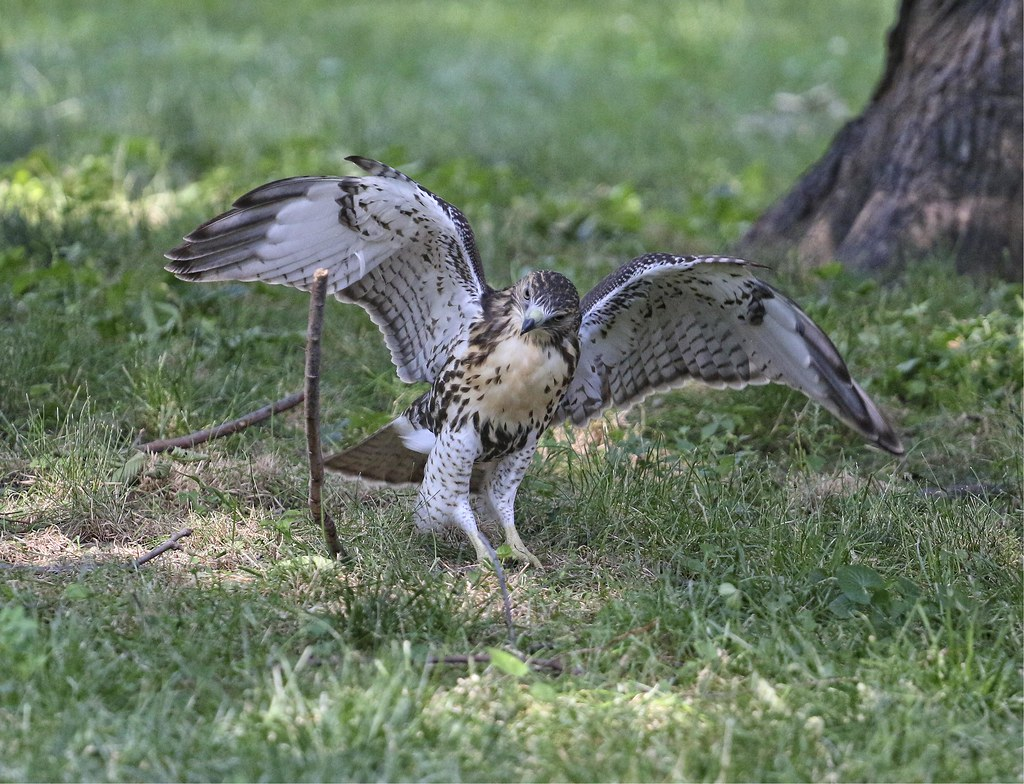 Tompkins Square fledgling playing with a stick