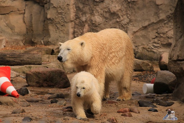 Eisbär Lili im Zoo am Meer 15.05.2016  35