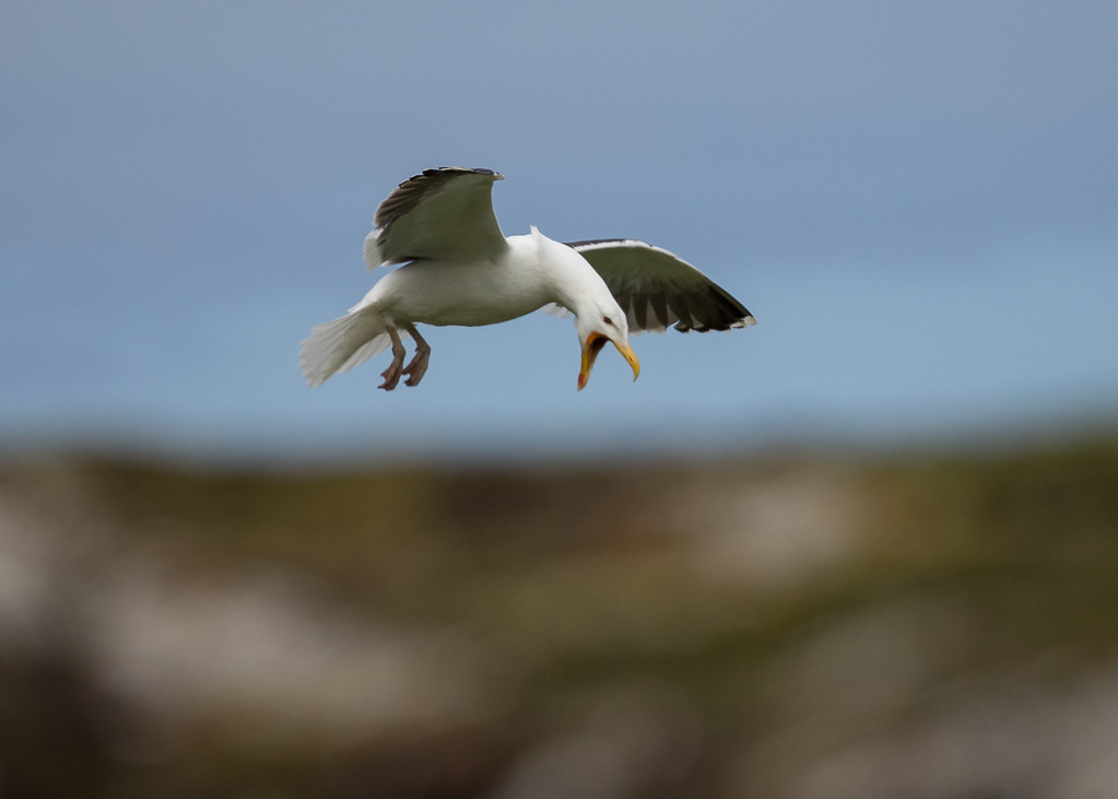 Great Black-backed Gull Isle of May,Scotland 2016-10