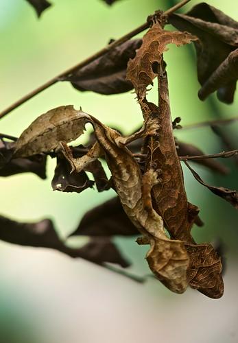 Male and female satanic leaf tailed geckos (Uroplatus phantasticus)