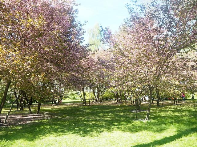 japanesestylegardenP5124841,cherryblossomP5124847, cherry blossom, kirsikkapuu, kirsikan kukka, helsinki, roihuvuori, finland, suomi, hanami, helsinki tips, cherry park, japanese style garden, cherry tree park, cherry park, cherry trees, kirsikankukka puu, blooming, kukkia, vaaleanpunainen, pinkki, kukka, flower, cherry blossom helsinki, blue sky, sininen taivas, may, toukokuu, kesä, summer, kevät, spring, suomi, cherry woods, kirisikkapuisto, roihuvuori, japanilaistyylinen puutarha,