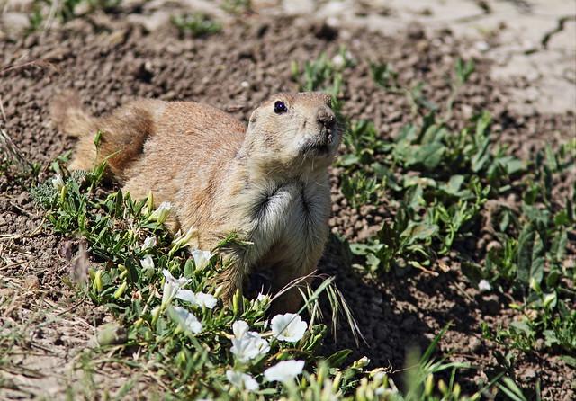 Prairie Dog 3-20160618