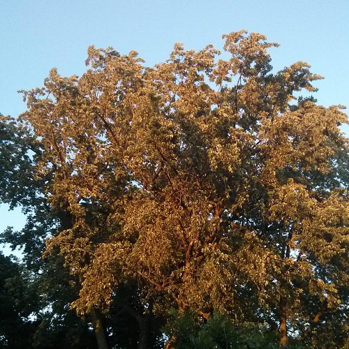 Tree in evening #toronto #dufferingrove #parks #evening
