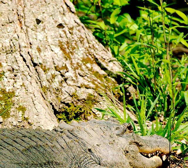 Alligator_14