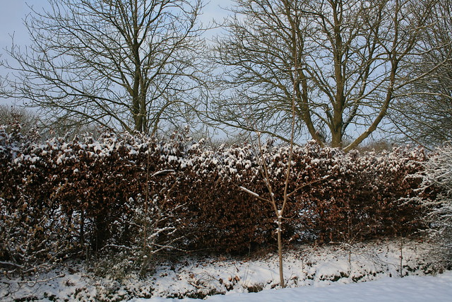 Snowy hedge 2