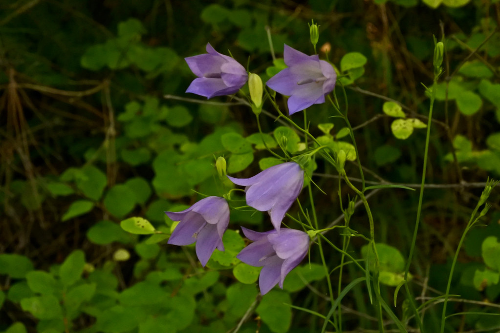 Bluebell-of-Scotland, Harebell