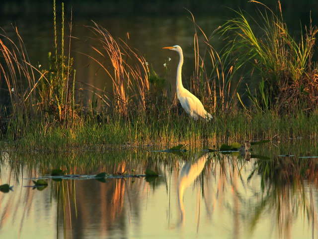 Great Egret at dawn HDR 04-20160820