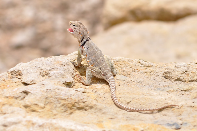 Eastern Collared Lizard #04 mm