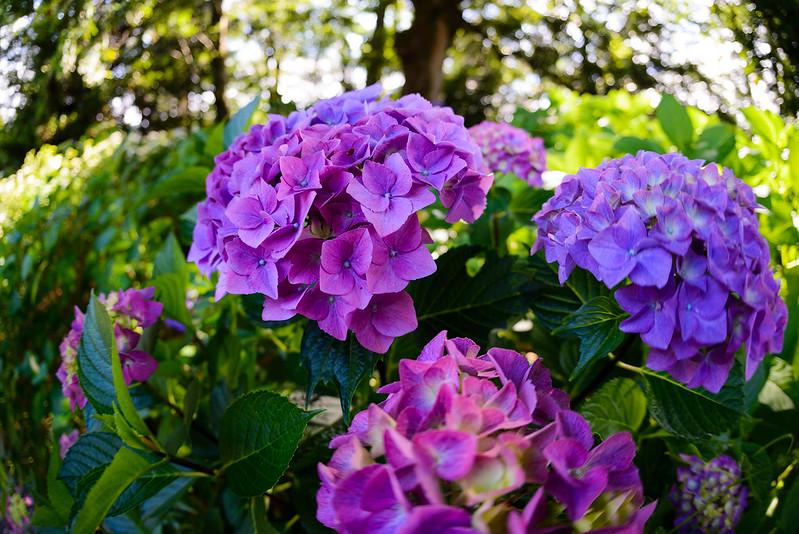 大神山神社 紫陽花 2016.6-24