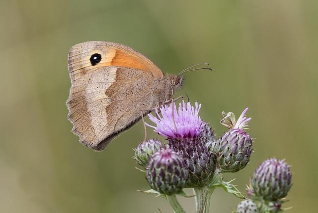 meadow brown 049 (472)