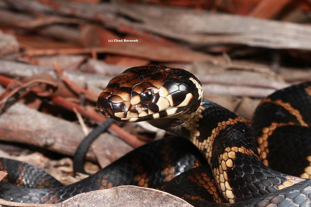 Stephens Banded Snake (Hoplocephalus stephensii)
