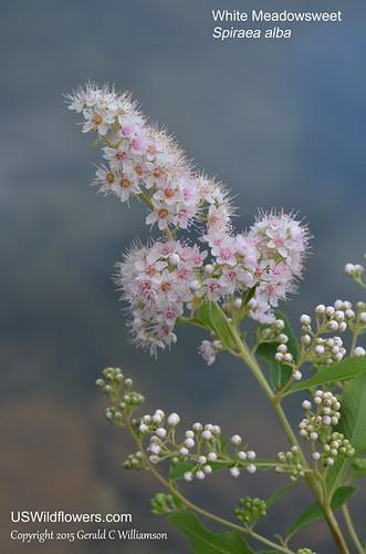 White Meadowsweet, Narrowleaf Meadowsweet, Eastern Meadowsweet, Broadleaf Meadowsweet - Spiraea alba