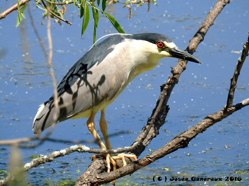 Bihoreau Gris  Fish On !!!!! Vraiment contente de cette observation, il a fait ma journée ;) 27142212314_e721395a18_c