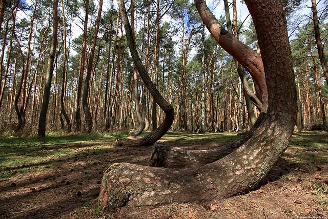 Krzywy Las - Krummer Wald