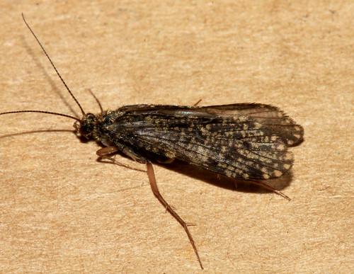 Polycentropus irroratus 6645