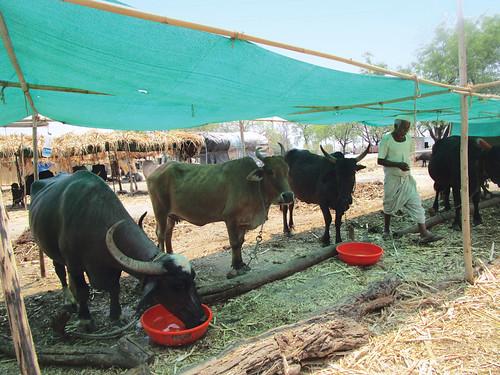 बीड़ कस्बे के पास एक पशु शिविर। शिविर में मौजूद 799 मवेशियों के लिये शिविर हर रोज 36,00 लीटर पानी खरीदता है