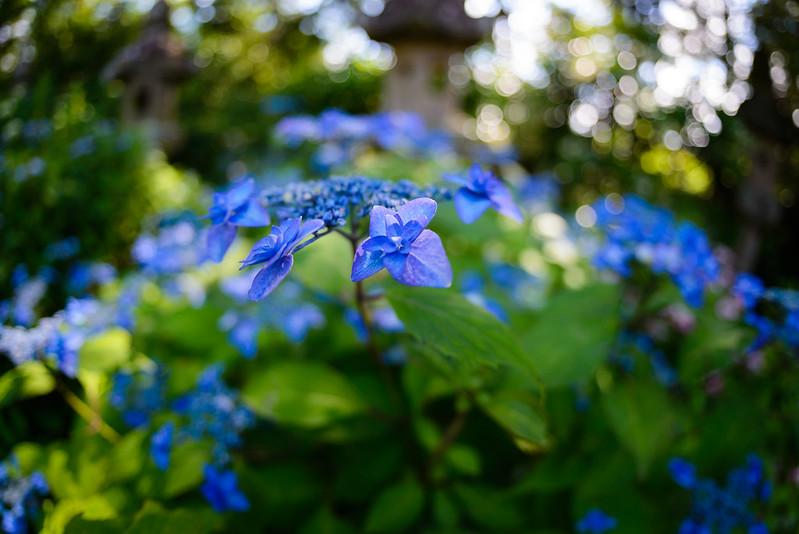 大神山神社 紫陽花 2016.6-21