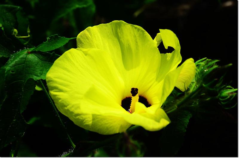 黃葵(山楊桃)-花