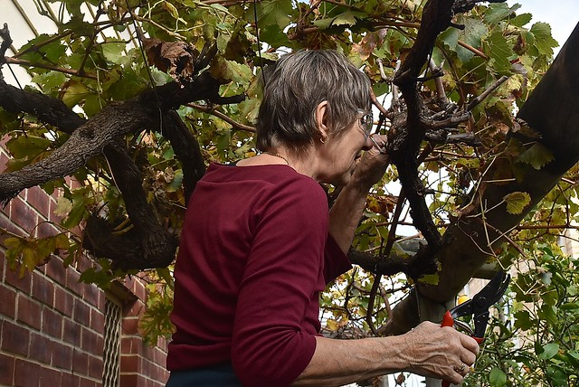 Jill pruning some grape vines, 22 June 2016.