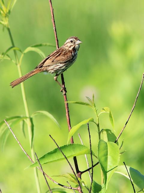 Song Sparrow 20160627