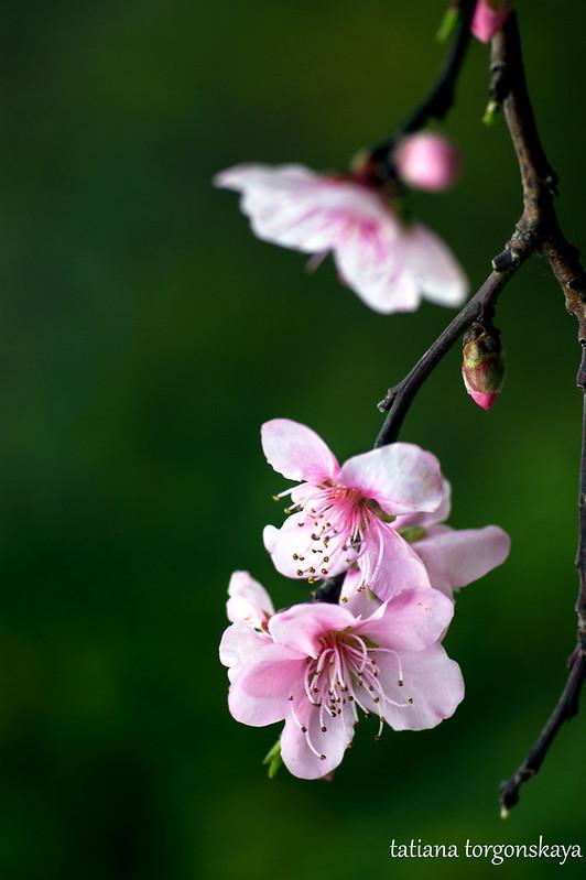 Плодовое дерево в цвету