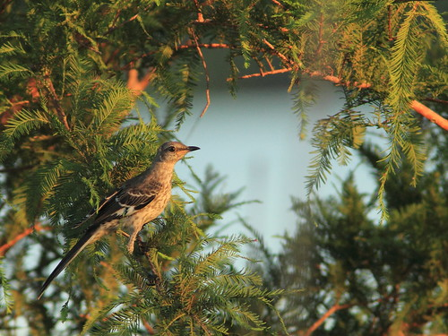 Northern Mockingbird juvenile 20160717