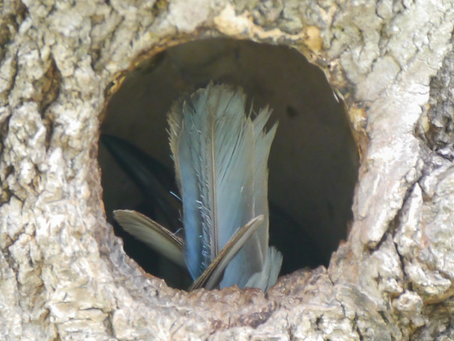 Eastern Bluebird in Nesting Cavity - 1