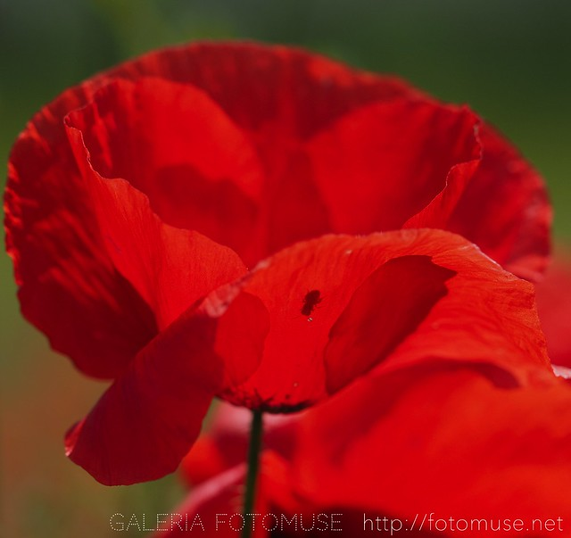 The Visitor of Poppie Flower