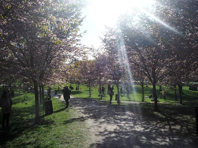candytreesP5125053,cherryblossomP5125071,japanesestylegardenP5124841,cherryblossomP5124847, cherry blossom, kirsikkapuu, kirsikan kukka, helsinki, roihuvuori, finland, suomi, hanami, helsinki tips, cherry park, japanese style garden, cherry tree park, cherry park, cherry trees, kirsikankukka puu, blooming, kukkia, vaaleanpunainen, pinkki, kukka, flower, cherry blossom helsinki, blue sky, sininen taivas, may, toukokuu, kesä, summer, kevät, spring, suomi, cherry woods, kirisikkapuisto, roihuvuori, japanilaistyylinen puutarha, cherry trees,