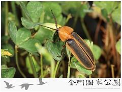 台灣窗螢-01