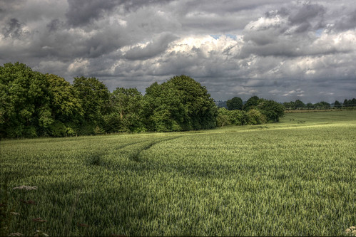 Horsley - tractor tracks in the wheat