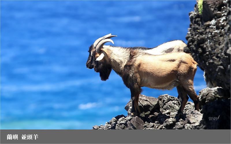 蘭嶼_並頭羊