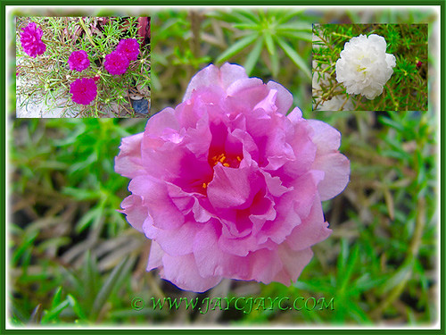 A collage of Pink, White and Dark Pink Moss Rose, 7 April 2016