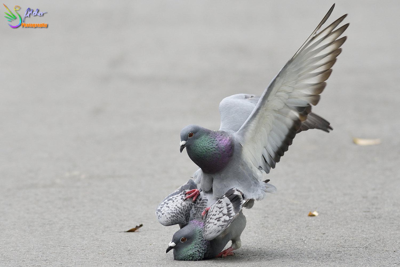 Pigeon_6668