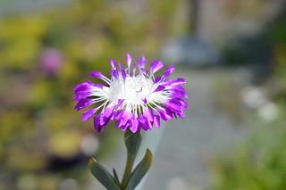 DSC_3141 Erepsia pillansii エレプシア ピランシイ 千歳菊