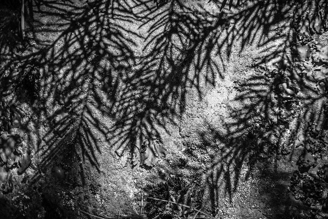 shadow of pine needles