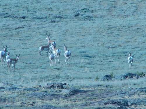 Pronghorn in Wyoming