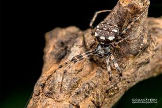 Orb weaver spider (Gea sp.) - DSC_3018